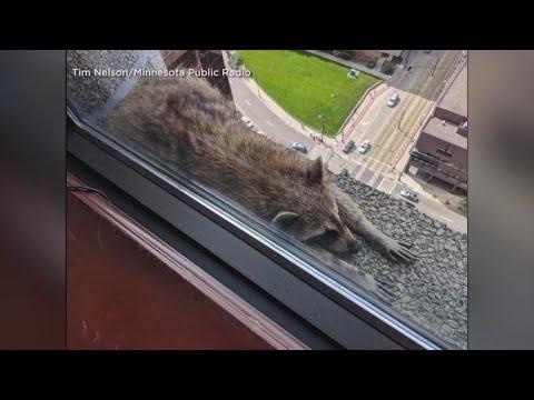 Raccoon survives climb up Minnesota skyscraper