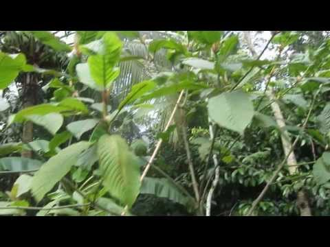 Kratom growing and eating in Southern Thailand - Mitragyna speciosa กระท่อม