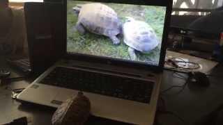 Черепашка и порно