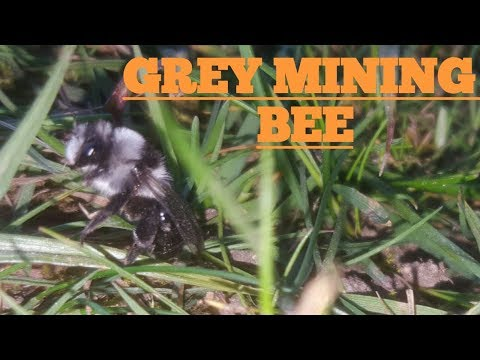 Grey Mining Bee