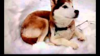Dog 101 Siberian Husky