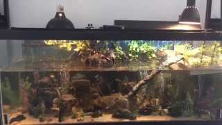 My 3-striped mud turtle, fish and shrimp aquarium update
