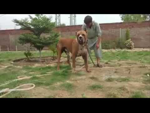World Biggest Beast Pure Bully Kutta is Bathing  - Biggest Bully Dog !!! Must Watch