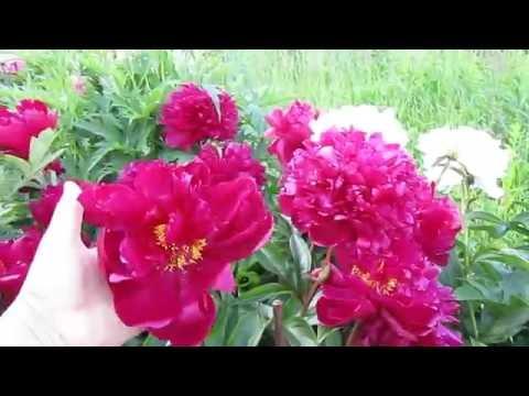 Июнь- цветут пионы