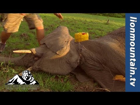 Saving snared Elephants with the South Luangwa Conservation Society [SLCS]
