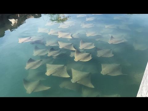 Shoal Of Rays Surround Yachts In Australian Marina
