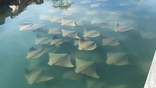Shoal Of Rays Surround Yachts In Australian Marina