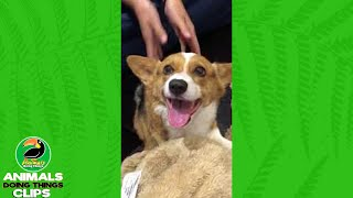 Corgi Makes Happy and Angry Faces | Animals Doing Things Clips