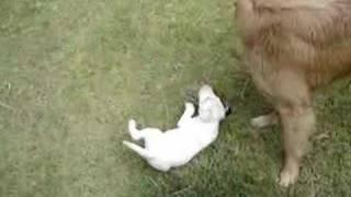 Golden Retriever X Bull Terrier