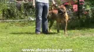 Fila Brasileiro Vs Bullmastiff