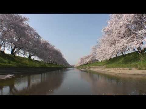 岐阜県 新境川堤(百十郎桜) - YouTube