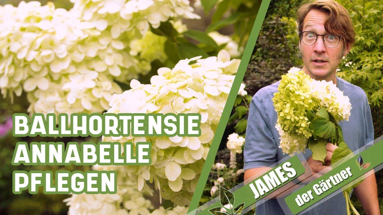 So werden Hortensien nach starkem Regen wieder schön!   James der Gärtner