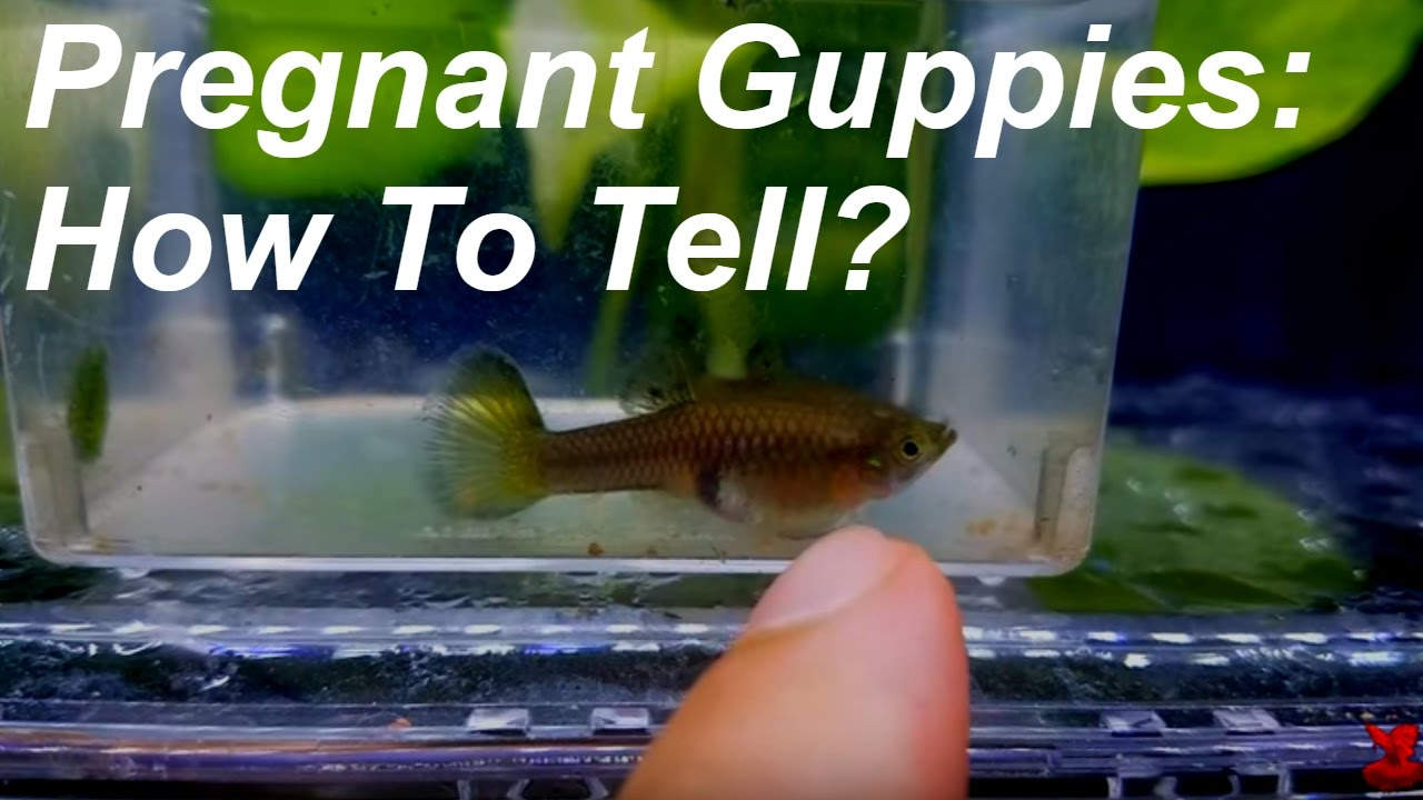 Pregnant Guppies How To Tell Youtube