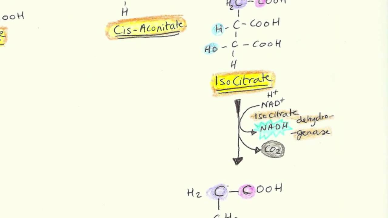 cycle krebs reactants substrates enzymes