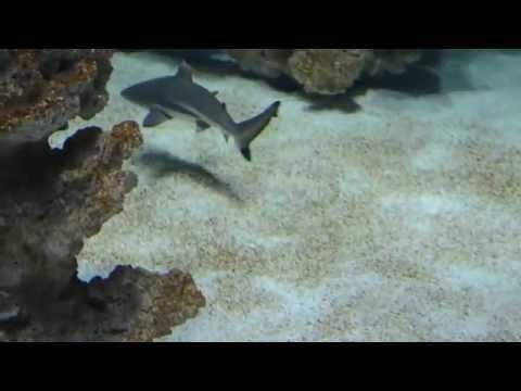 requin pointe noir aquarium liege