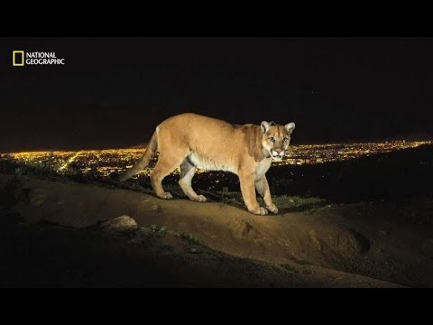 MOUNTAIN LION OF HOLLYWOOD - BBC NEWS