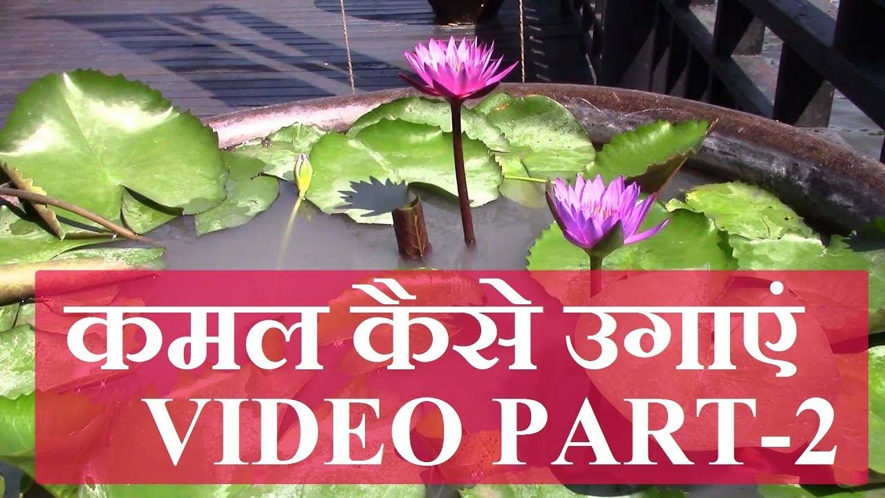 Lotus Plantation How To Grow Lotus At Home How To Grow Lotus