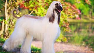 Afghan Hound dog. History.Grooming. NUTRITION