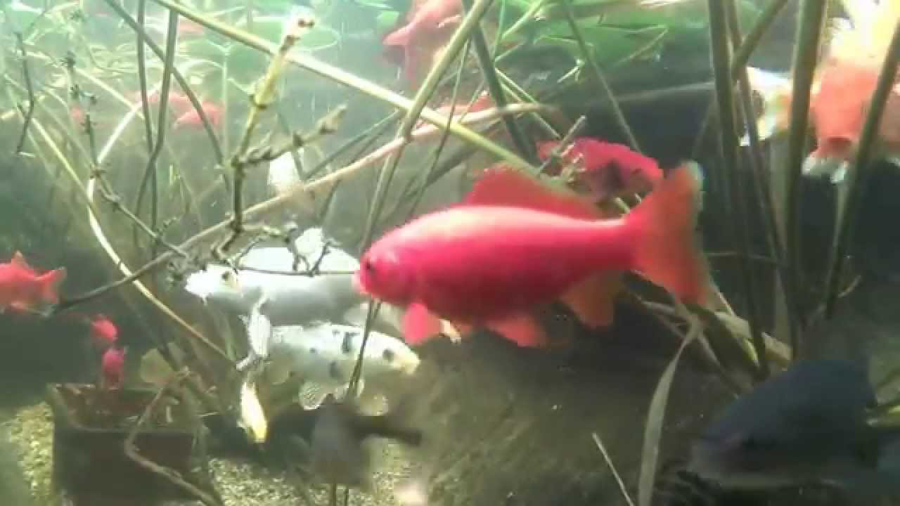 Laghetto carpe koi underwater youtube - Carpe koi laghetto ...