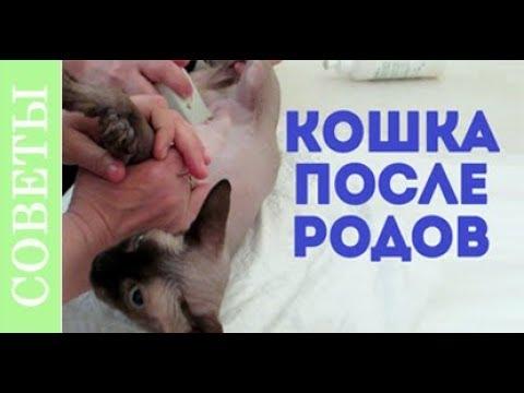 Что делать если не вышел послед у кошки Не вышел послед у кошки совет по родам