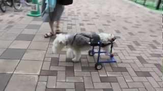 ワイヤーフォックステリアやトイプードルなど比較的足の長めな犬種はMサ...
