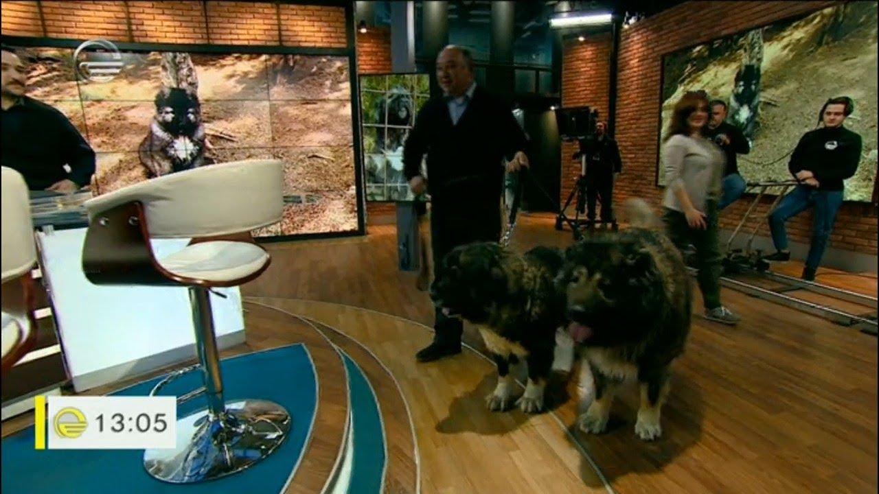 ქართული მთის ძაღლი განსაცდელშია