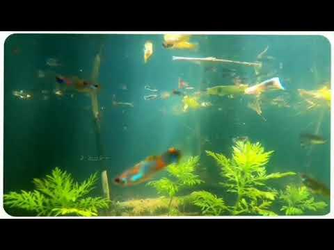 My guppy fish tank View