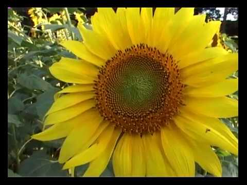 BC-KV-15/9/17.1)Plant protection in sunflower.2)Mixed crop.3)National seminar.