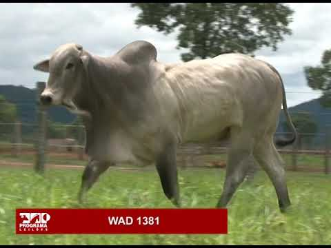 LOTE 84 - WAD 1381