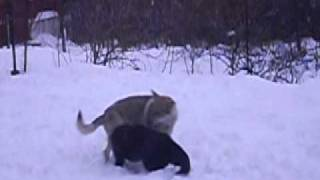 Wolf vs Black dog Part 2 (Wolfdog)