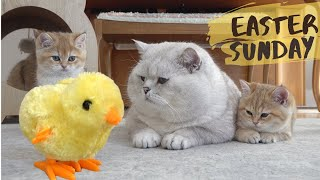 British shorthair cat Apollo and his kittens walking and playing with a tiny chicken