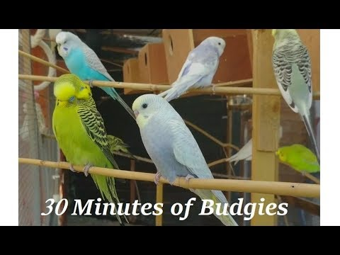 30 minutes of Budgies Playing Singing in their Aviary