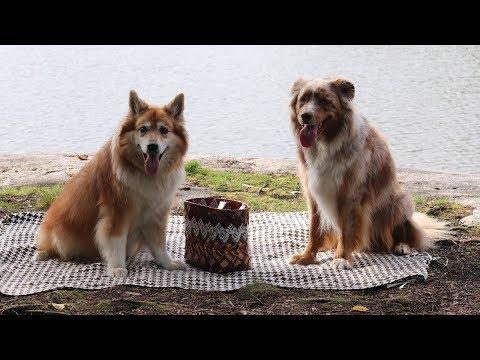 Dogs Having a Picnic 2   Australian Shepherd & Icelandic Sheepdog