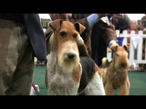 National Terrier 2016 - Best in Show