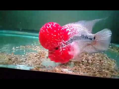 Thai FH - International Supplier of Flowerhorn Fish, flowerhorn for