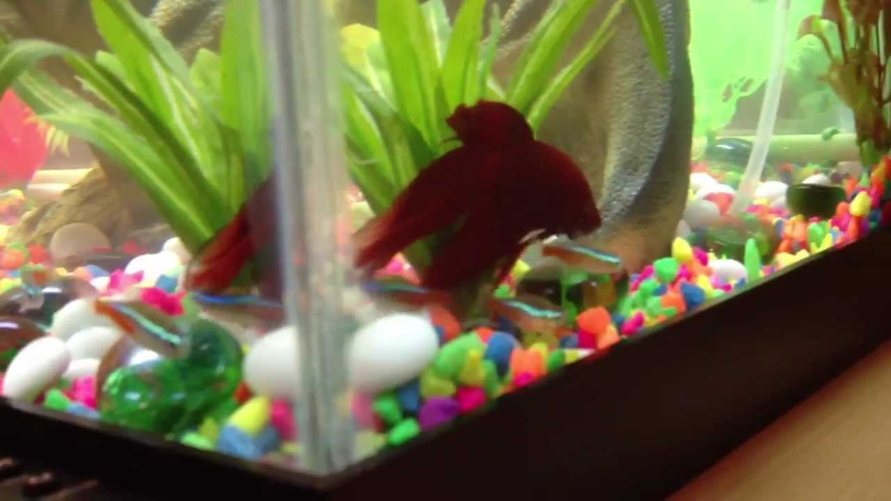 Betta gets new tank mates youtube for Tank mates for betta fish