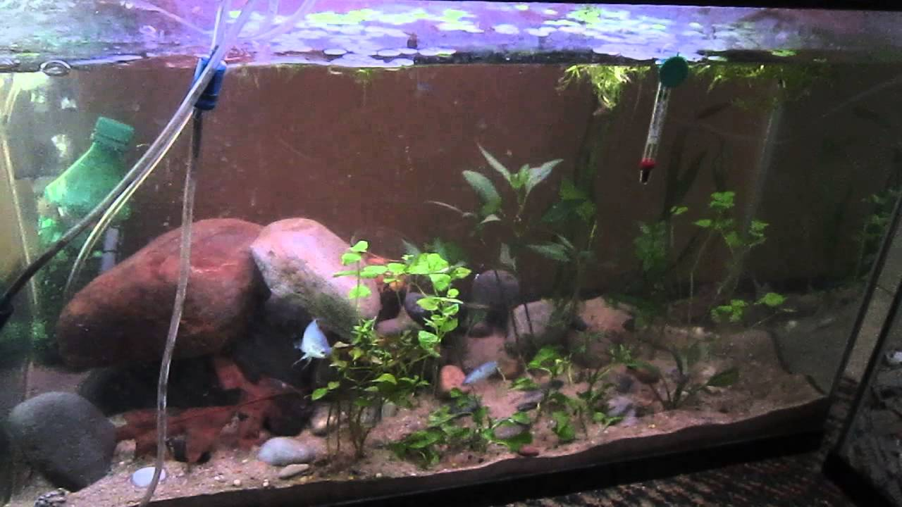 Fish for cold water aquarium - My 29 Gallon Subtropical Coldwater Paradise Fish Tank