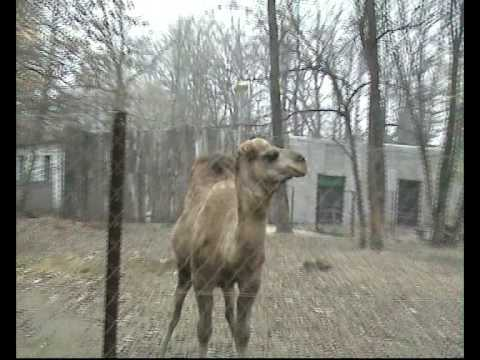 Dromedary camel with funny sound