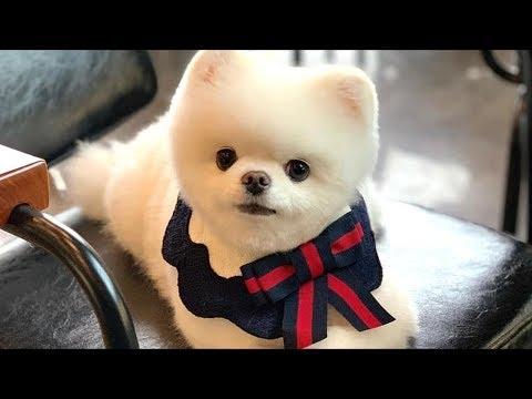 Mini Pomeranian - Funny and Cute Pomeranian Videos - BuzzFeed Animals