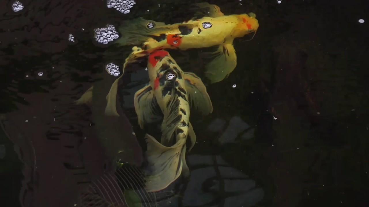 Big Boss Fish