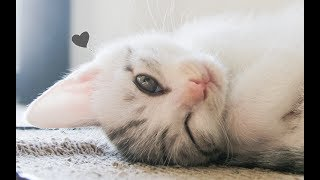 超美小猫到家,四只大猫轮流暗中观察、欺负,各怀心机...