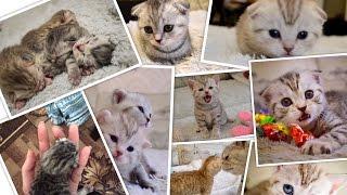 Как растут Шотландские котята