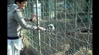 hazara university mansehra dhodial pheasantry leopard vs mgt sci guy.funny