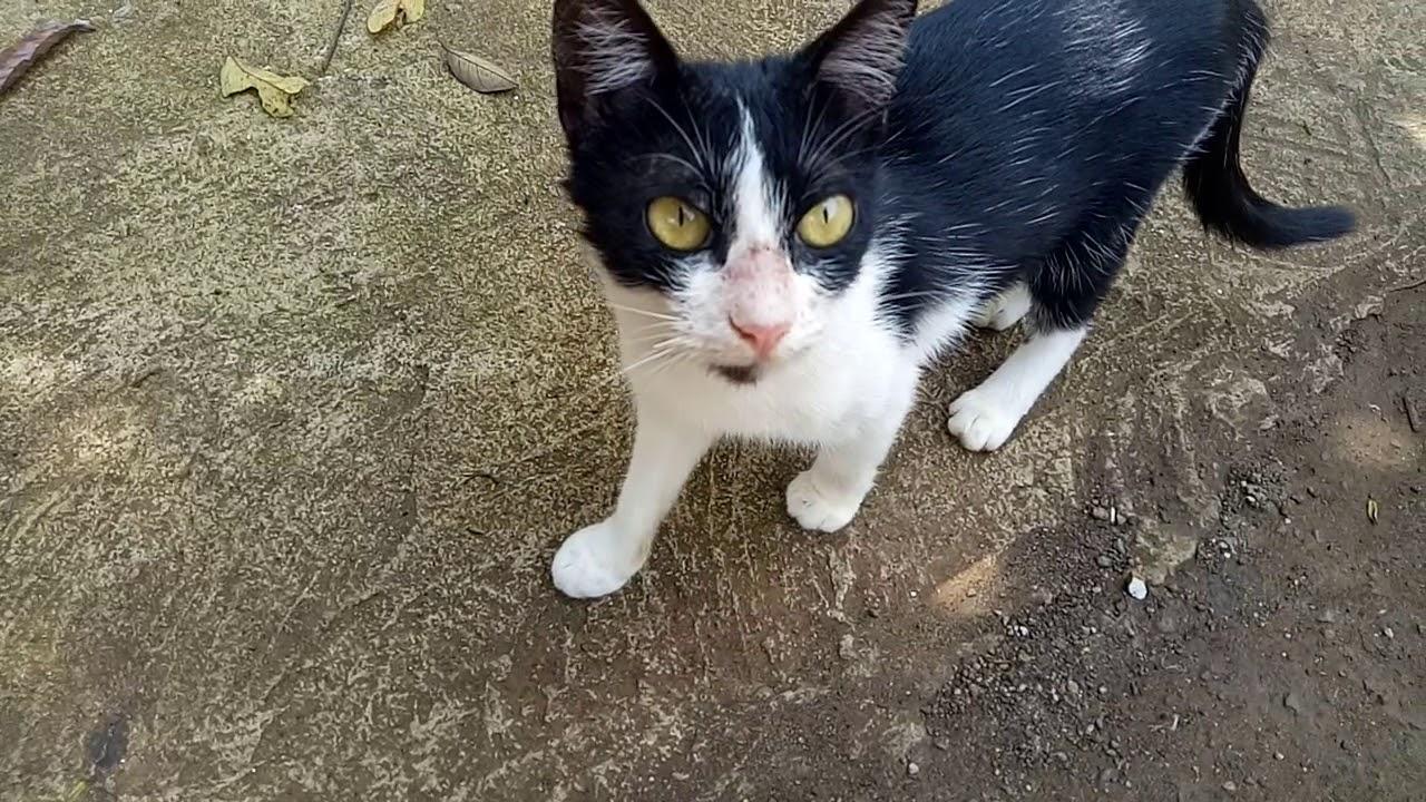 Download 66+  Gambar Kucing Anggora Hitam Putih Paling Keren Gratis