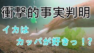 『謎のあんこう』とコウイカ【水中映像】