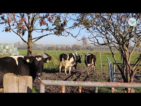 TV: Koe op stal bij beperkte derogatie