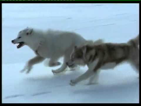 Eskimo-dog  Nanook