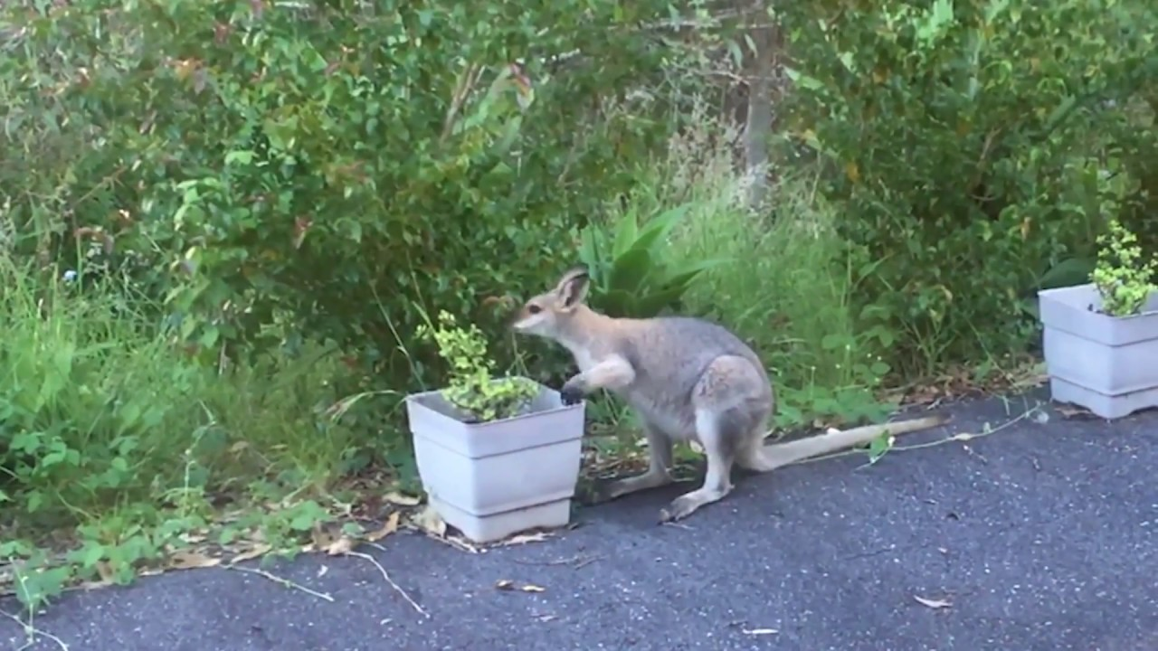 Kangaroo Using His Her Hands To Eat Plants In My Yard Youtube
