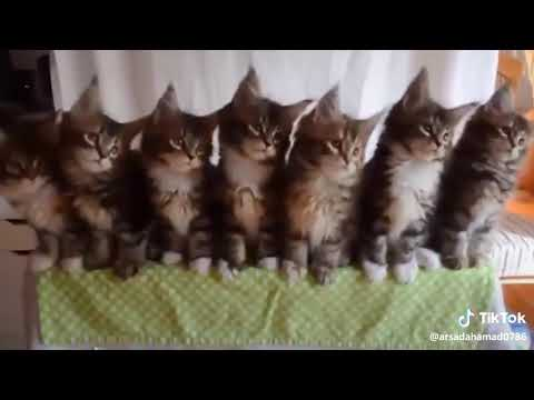 #tiktok #funny #dancing #cats (Please subscribe)