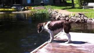 Hilarious Springer Spaniel loses his stick in the water.